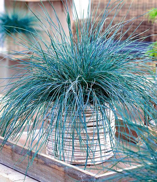 Ziergras Garten ziergras blue 1a pflanzen kaufen baldur garten