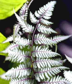 Schmuck-Farn ´Silver Falls&reg,´,1 Pflanze
