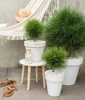 Pinus ´Summer Breeze´ Kugel,1 Pflanze