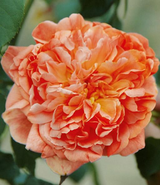 kletterrose 39 papi delbard 39 1a rosenpflanzen bestellen