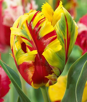 Papageien-Tulpe 'Texas Flame'