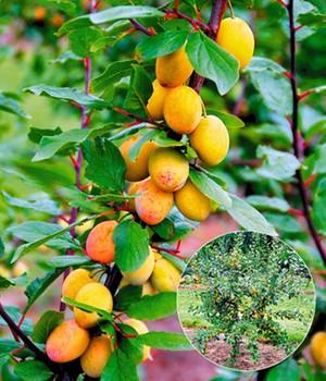 Mirabellenbaume Online Kaufen Bestellen Bei Baldur Garten