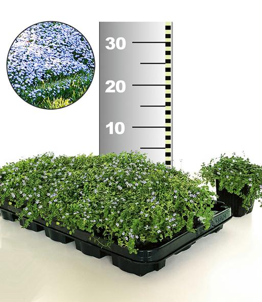 Isotoma Blue Foot 50 Stk Trittfester Bodendecker Rasen Ersatz