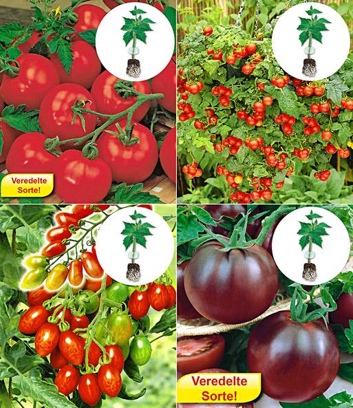 veredelte tomaten kollektion 1a qualit t online kaufen baldur garten. Black Bedroom Furniture Sets. Home Design Ideas
