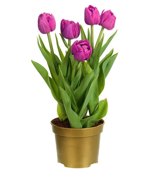 gef llte tulpe im topf 39 violett 39 1a zimmerpflanzen online kaufen baldur garten. Black Bedroom Furniture Sets. Home Design Ideas