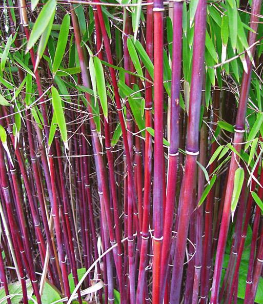 Roter Bambus Asian Wonder 1a Qualitat Kaufen Baldur Garten