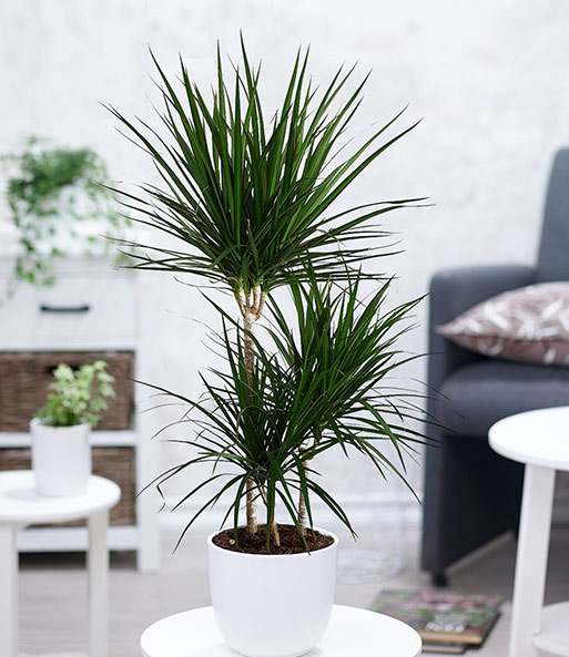 dracena 39 marginata 39 1a qualit t baldur garten. Black Bedroom Furniture Sets. Home Design Ideas