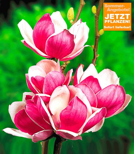magnolie 39 satisfaction 39 sonderartikel bei baldur garten. Black Bedroom Furniture Sets. Home Design Ideas