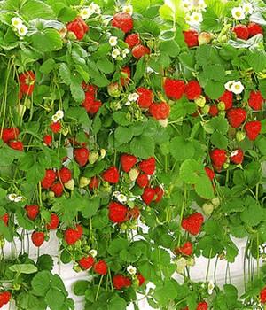 Hänge-Erdbeere ´Hummi&reg,´,3 Pflanzen