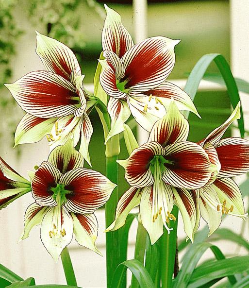 amaryllis 39 papilio butterfly 39 amaryllis bei baldur garten. Black Bedroom Furniture Sets. Home Design Ideas
