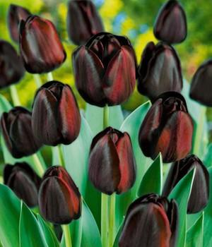 tulpen online kaufen traumhafte sorten bei baldur garten. Black Bedroom Furniture Sets. Home Design Ideas