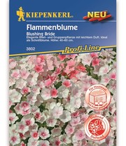 Flammenblume  'Blushing Bride'