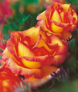 Baldur garten rosen  Kletterrosen online bestellen bei BALDUR-Garten