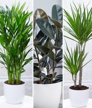 Zimmerpflanzen-Mix  - XXL - ,3 Pflanzen
