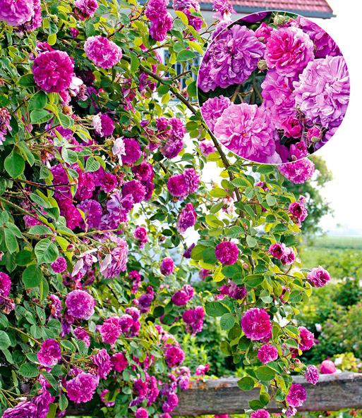 rambler rose himmelsauge 1a qualit t kaufen baldur garten. Black Bedroom Furniture Sets. Home Design Ideas