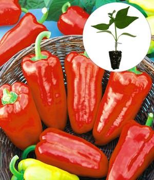 paprika chili jungpflanzen online kaufen bestellen bei baldur garten. Black Bedroom Furniture Sets. Home Design Ideas