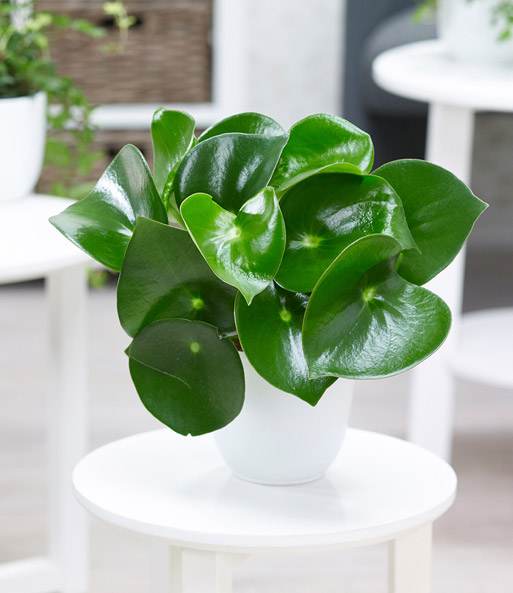 peperomia 39 raindrop 39 zierpfeffer 1a zimmerpflanzen. Black Bedroom Furniture Sets. Home Design Ideas