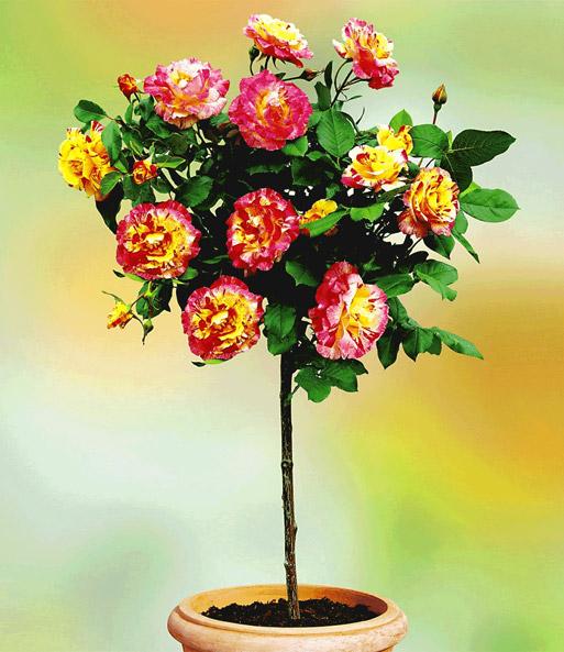 Baldur garten rosen  Rosen-Stamm 'Camille Pissarro®': 1A-Qualität kaufen   BALDUR-Garten