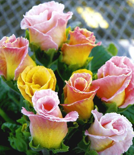 Baldur garten rosen  Rosen-Primula 'Orange-rosé' | Gartenstauden bei BALDUR-Garten