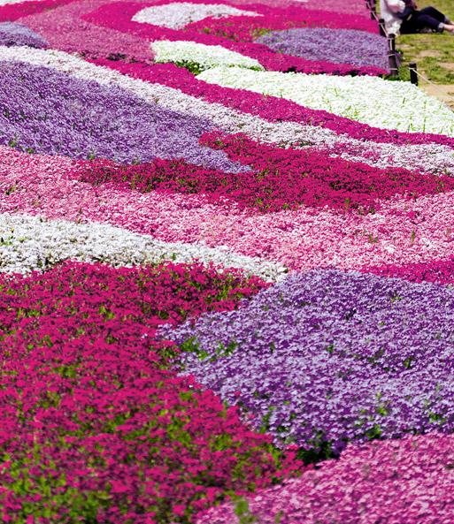 Phlox mix flowers of the sea top qualit t baldur garten - Winterharte steingartenpflanzen ...