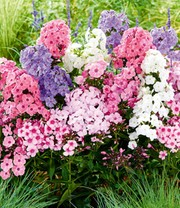 Phlox-Mix 'Sweet Summer'