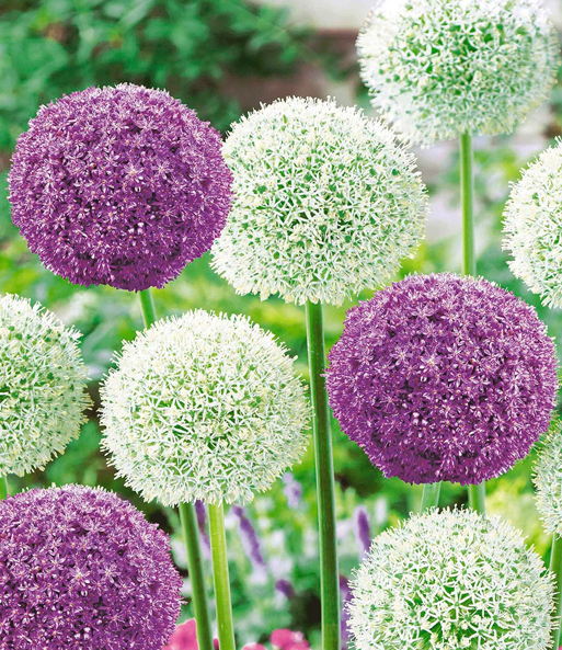 Riesen-Allium-DUO 'Ambassador & Mount Everest'