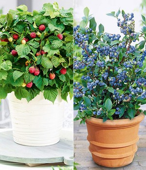 Topf-Heidelbeere  - Blue Parfait&reg, -  & Topf-Himbeere  - BonBonBerry&reg, YUMMY - ,2 Pflanzen