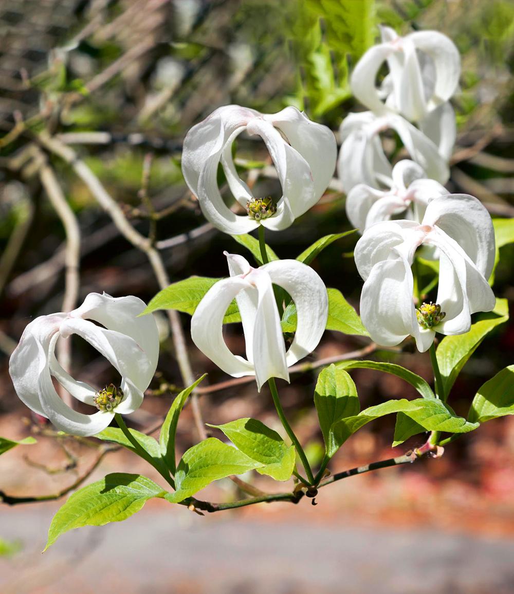 Amerikanischer Blumen-Hartriegel 'Urbiniana'