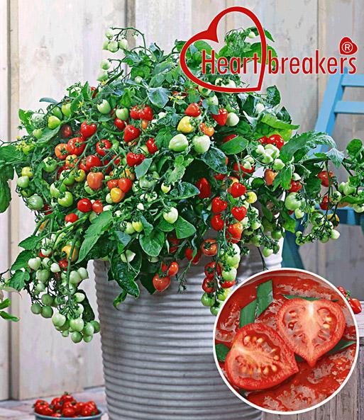 h nge tomate heartbreakers 39 valler snackgem se bei baldur garten. Black Bedroom Furniture Sets. Home Design Ideas