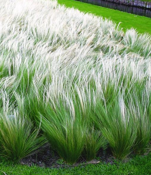 Winterharte Gräser Garten federgras stipa 1a pflanzen kaufen baldur garten