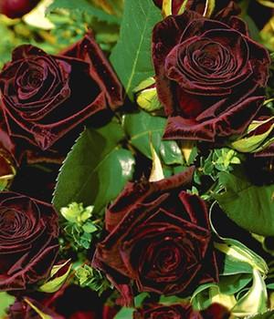 baccara rosen preis