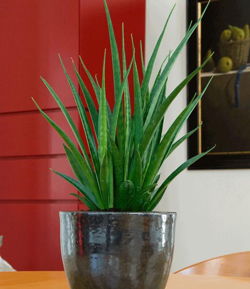 sanseveria 1a zimmerpflanzen online kaufen baldur garten. Black Bedroom Furniture Sets. Home Design Ideas