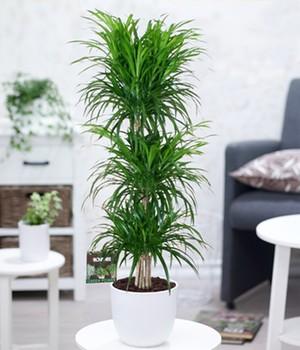 Dracena reflexa  - 3 Etagen -  ca. 90 Zentimeter hoch,1 Pflanze