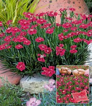 Bodendecker-Nelke 'Red Pillow'
