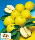 Befruchtersorte 'HEDGE+FRUIT®' Golden Delicious