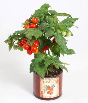 Tomatenpflanze mit Früchten ´Snack Direkt&reg,´...