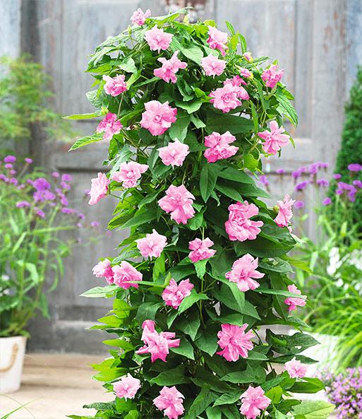 calystegia pink lovers 1a pflanzen kaufen baldur garten. Black Bedroom Furniture Sets. Home Design Ideas