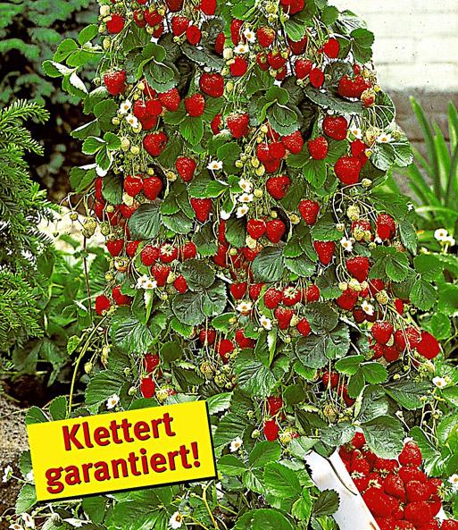 Berühmt Kletter-Erdbeere 'Hummi®' und Dekor   Erdbeeren bei BALDUR-Garten @BJ_37