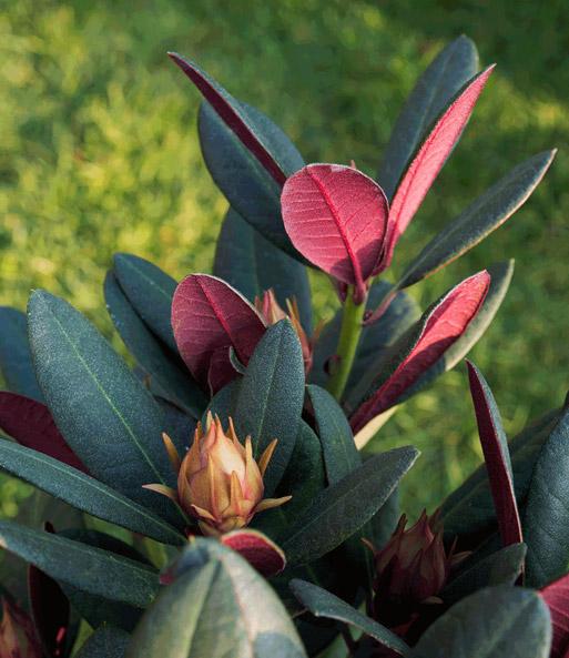 rhododendron 39 wine roses 39 bl hende str ucher bei. Black Bedroom Furniture Sets. Home Design Ideas
