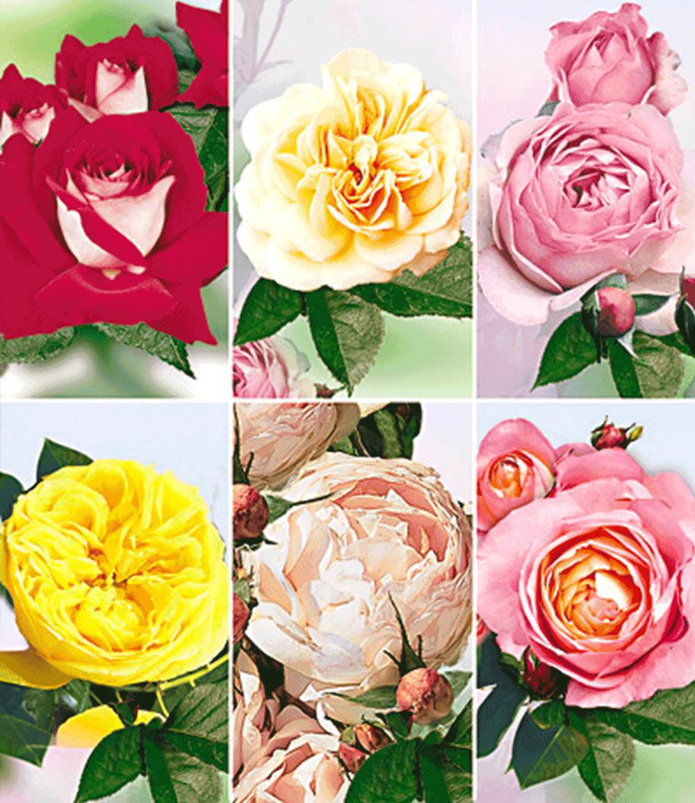 Kollektion 'Rosen d´Amour'