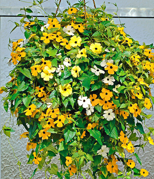 thunbergia 39 suzie mixed 39 easyplant jungpflanzen bei baldur garten. Black Bedroom Furniture Sets. Home Design Ideas