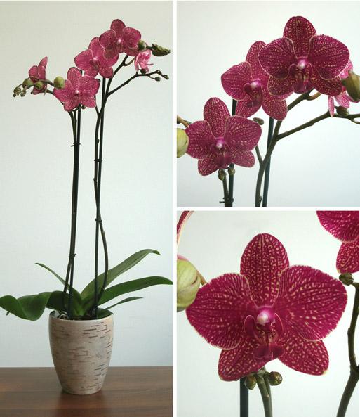 phalaenopsis orchidee orange lachs im keramiktopf baldur garten. Black Bedroom Furniture Sets. Home Design Ideas