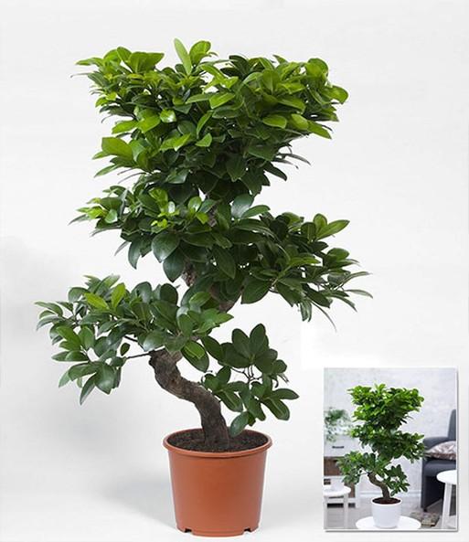 Zimmerbonsai Ficus \'Ginseng\' | BALDUR-Garten