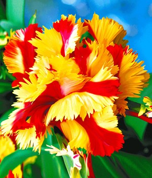 Papageien-Tulpe 'Double Flaming Parrot'