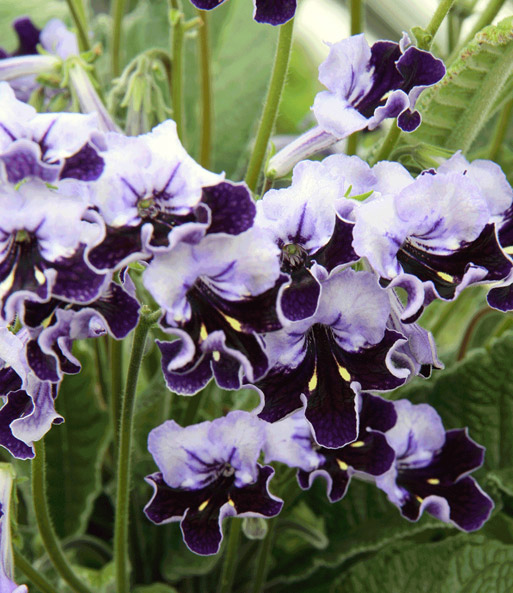 streptocarpus supernova 1a zimmerpflanzen baldur garten. Black Bedroom Furniture Sets. Home Design Ideas