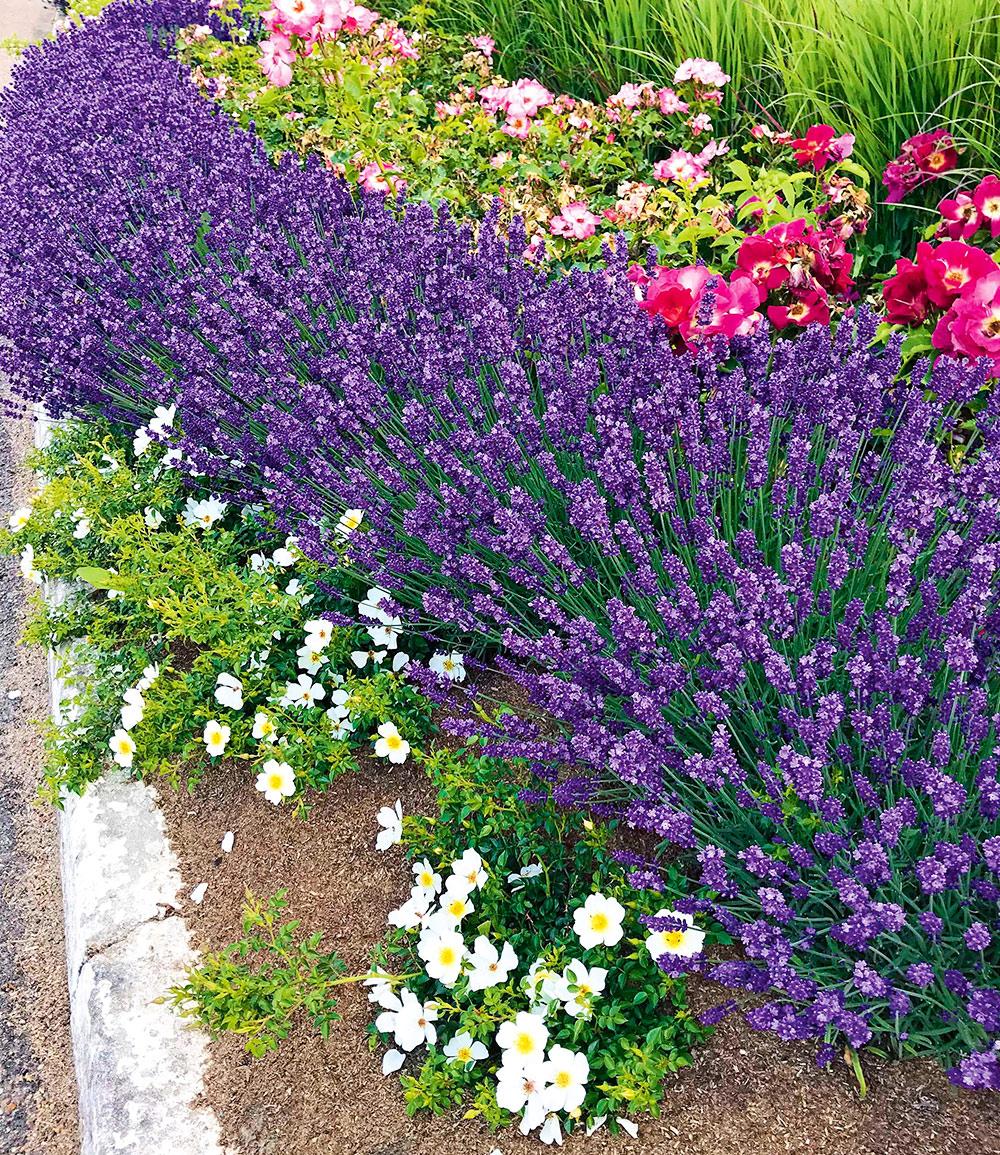 Lavendel 'Blue Jeans'