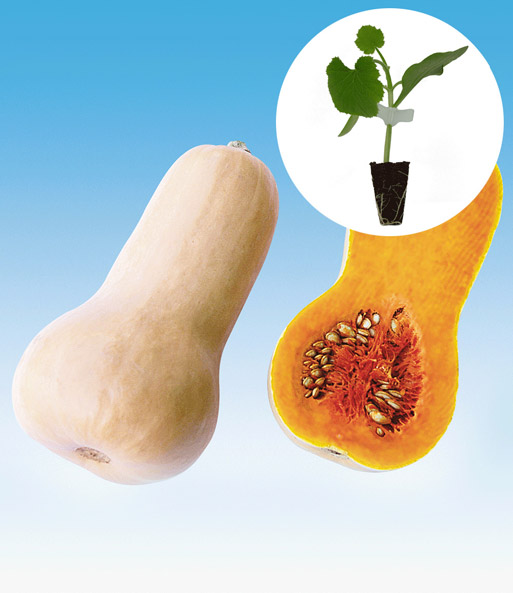 Speise-Kürbis 'Early Butternut' F1