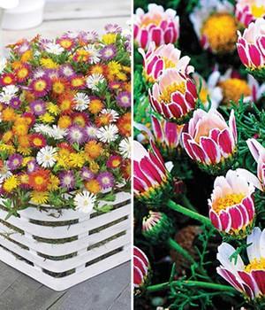 Blühende-Bodendecker-Kollektion,8 Pflanzen