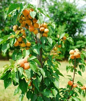 Aprikosenbäume Online Kaufen Bestellen Bei Baldur Garten