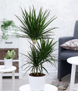 Zimmerpflanze Drachenbaum im Blumenladen